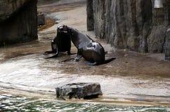 Meer-†‹â€ ‹Löwe, freundliche Tiere am Prag-Zoo Stockfotos