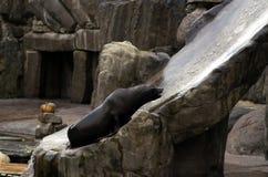 Meer-†‹â€ ‹Löwe, freundliche Tiere am Prag-Zoo Lizenzfreie Stockfotos