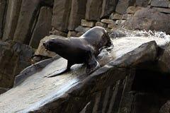 Meer-†‹â€ ‹Löwe, freundliche Tiere am Prag-Zoo Lizenzfreie Stockbilder