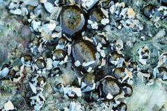 Meer Anemone On ein Felsen Stockbilder