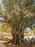 Meer dan 2000 jaar oude wilde olijfboom stock foto