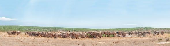 Meer dan 200 olifanten die wachten te drinken Royalty-vrije Stock Foto
