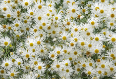 Meer der Blumen Lizenzfreies Stockfoto