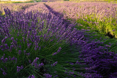 Meer des Lavendels in Süd-Frankreich Stockbild