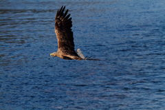 Meer Eagle Stockfotos