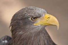 Meer Eagle Lizenzfreie Stockbilder