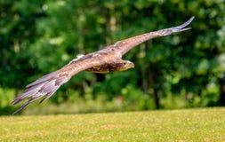 Meer Eagle, das niedrig über einem Feld swooping ist Stockfotografie