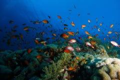 Meer-goldie Fische schwimmen über dem korallenroten Garten in einem drastischen Licht stockfotos