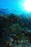 Meer-goldie Fische schwimmen über dem korallenroten Garten im Haifischriff stockbilder