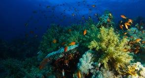 Meer-goldie Fische schwimmen innerhalb des korallenroten Gartens in einem drastischen Licht lizenzfreie stockfotos