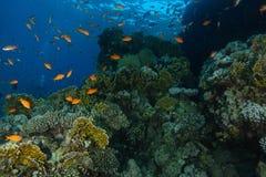 Meer-goldie Fische schwimmen innerhalb des korallenroten Gartens im Haifischriff lizenzfreie stockfotografie