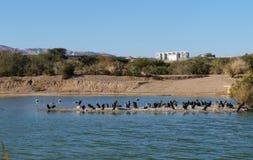 Meer in het park, aalscholvers die dichtbij het water rusten Stock Fotografie