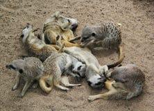 Meer Meerkats Stock Foto's