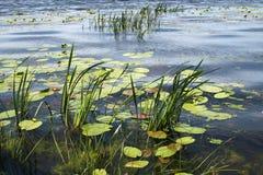 Meer met waterlelies en riet Stock Foto's