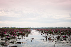 Meer van rode lotusbloem in Udonthani unseen Thailand (in Thailand) Royalty-vrije Stock Foto