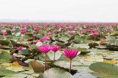 Meer van roze waterlelielandschap in Udonthani royalty-vrije stock afbeelding