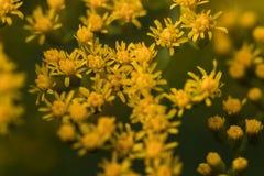 Meer von †‹â€ ‹gelben Blumen, Nahaufnahme stockbild