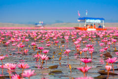 Meer von rosa Lotos, Nonghan, Udonthani, Thailand stockfotografie