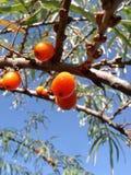 Meer-Wegdorn Beeren Stockbild