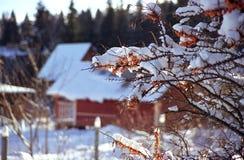 Meer-Wegdorn Beeren Stockfoto