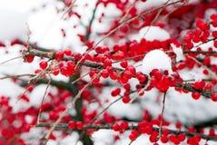 Meer-Wegdorn sind im Winter nach Schneefälle Lizenzfreies Stockfoto