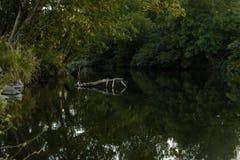 Meerbezinningen van een gevallen boom in het midden van het meer/de Groene scène van bezinningen in het meer royalty-vrije stock afbeelding