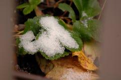 Meerblick-Erdbeerblätter bedeckt im Schnee stockfotos