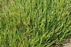 Meerbohnen oder Salicornia, die auf einem Strand wachsen Lizenzfreie Stockfotografie