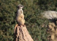 Meercat σε έναν βράχο Στοκ φωτογραφίες με δικαίωμα ελεύθερης χρήσης