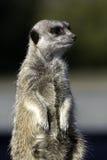 meercat στεμένος Στοκ Φωτογραφία