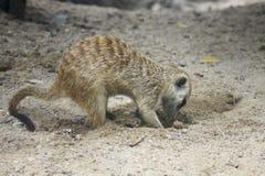 meercat отверстия dig стоковое изображение
