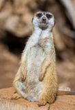 Meercat Stock Photography