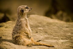 Meercat Royalty Free Stock Photo