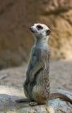 meercat Στοκ Εικόνες