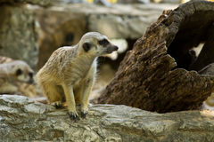 meercat Στοκ φωτογραφίες με δικαίωμα ελεύθερης χρήσης