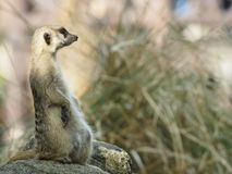 Meercat Fotos de Stock