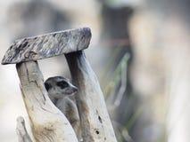 Meercat Fotografia de Stock