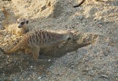 Meercat Stock Fotografie