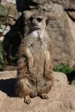 Meercat Fotografia Stock
