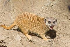 Meercat Стоковая Фотография RF
