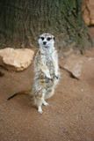 MeerCat aux yeux brillants Photographie stock