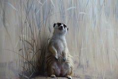 Meercat bevindende schildwacht Stock Foto