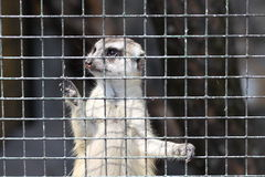 Meercat in cage Stock Photos