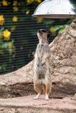 Meercat curioso Fotografia Stock Libera da Diritti