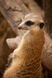 Meercat curioso su un tronco di albero Fotografia Stock Libera da Diritti