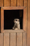 Meercat, das durch Fenster Chester Zoo schaut Stockfotos