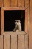 Meercat die door venster Chester Zoo kijken Stock Foto's