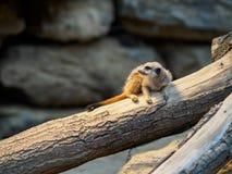 Meercat in dierentuin Stock Afbeelding