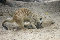 Meercat dig the hole Stock Image