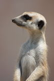 Meercat do lado Fotos de Stock Royalty Free
